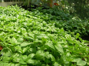 Get fresh Basil by making a donation to the Community Housing Land Trust of Santa Cruz County, Inc.